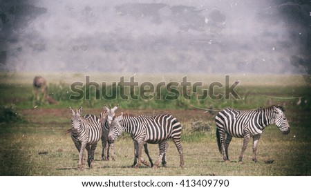 Vanishing Africa: vintage style image of Zebras in the Lake Manyara National Park, Tanzania - stock photo