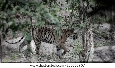 Vanishing Indian wildlife: Vintage style image of a Large male Bengal tiger in Bandhavgarh National Park, India