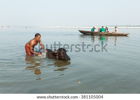 VARANASI, INDIA - DECEMBER 1: Unidentified Hindu washes a sacred cow in Ganga river on December 1, 2012 in Varanasi, India. Unidentified Hindus swims in a boat on the background. - stock photo