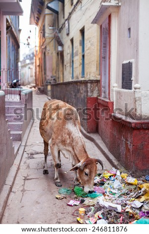 VARANASI, INDIA - JANUARY 05, 2015: A cow scavenging scraps of food from a pile of rubbish on a side street. Cattle are often seen roaming the streets freely in India.