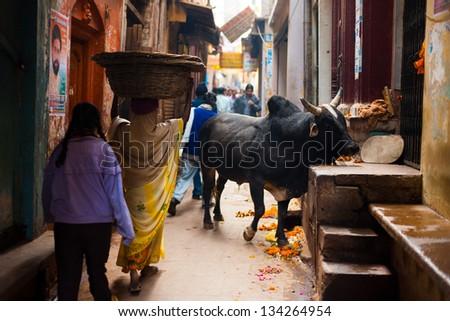 VARANASI, INDIA - JANUARY 31, 2008: A holy black cow blocks a narrow alley in the famous tourist destination and holy city of Varanasi on January 31, 2008 - stock photo