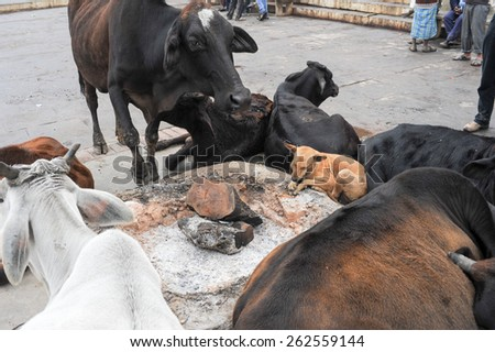 Varanasi, India - 27 January 2015: Cows and dog relaxing on a ghat of Varanasi on India