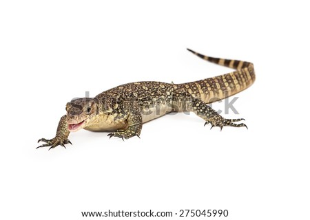 Varanus salvator, commonly known as Asian Water Monitor walking forward on a white background with mouth open - stock photo