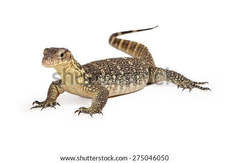 Varanus salvator, commonly known as Asian Water Monitor with an attentive stance sitting on a white background - stock photo
