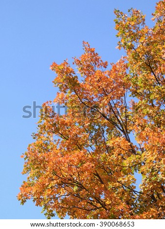 Varicolored deciduous tree on blue sky. Red and yellow autumn leafage