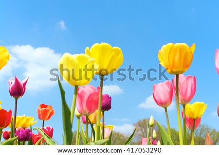 Varicolored tulips against blue sky; Spring mood; Spring colors - stock photo