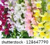 variegated antirrhinum (snapdragon) flower background - yellow,white,rosy and crimson - stock photo