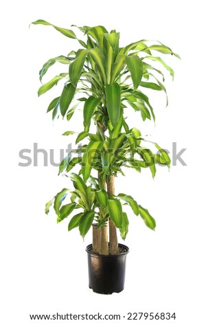 Variegated Dracaena Corn Plant Isolated on White - stock photo