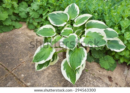 Variegated hosta with cream and green leaves in a planter - stock photo