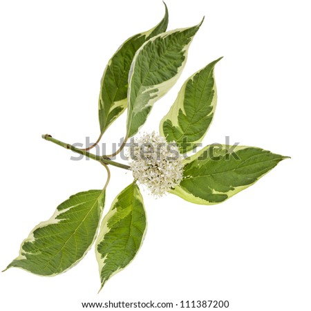 variegated leaves of flowering shrubs  isolated on white. - stock photo