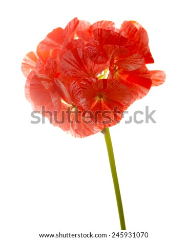 variegated pink and red geranium  isolated on white