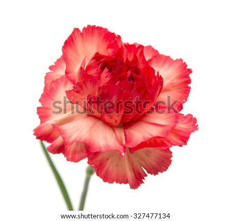variegated red and orange carnation flowers isolated on white background - stock photo