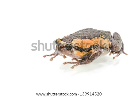 Varieties males bullfrog Thailand on a white background.