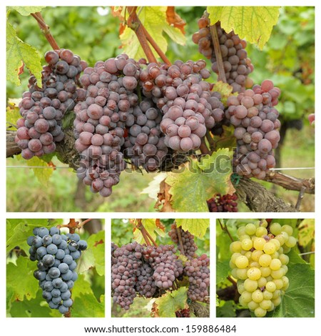 variety of bunch of grapes, Tuscany - stock photo