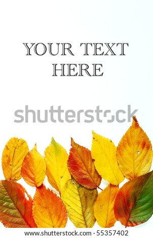 Variety of different color mixtures in autumnal cherry tree leaves photographed on white background