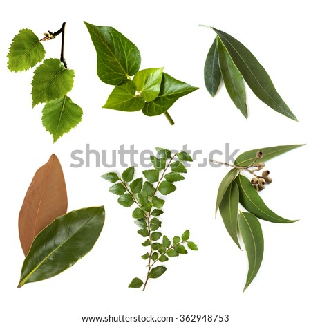 Variety of leaves, isolated on white.  Includes silver birch, ivy, olive, magnolia, myrtle beech, and eucalyptus.