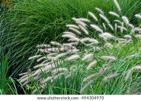 variety of ornamental grass used for landscaping