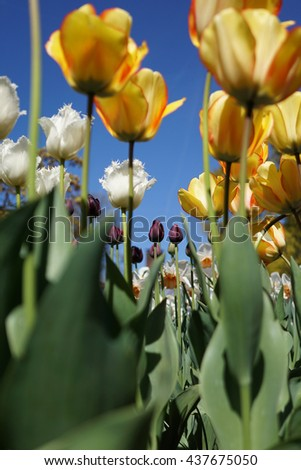 variety of tulips in a dutch garden - stock photo