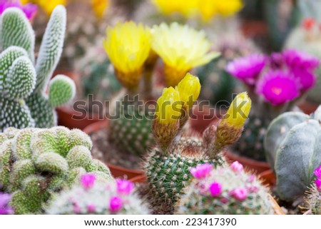 Various cactuses on a show-window of flower shop - stock photo