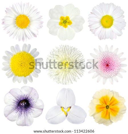 Various Collection of White Flowers Isolated on White Background. Set of Nine Daisy, Gerber, Marigold, Osteospermum, Chrysanthemum, Strawflower, Cornflower, Dahlia Flowers