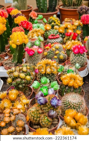 Various colorful blooming cactuses in the pots on the plant market - stock photo