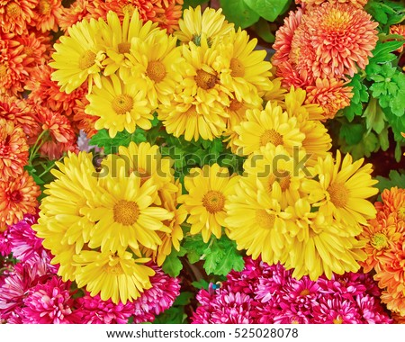 various colorful chrysanthemums floral  background