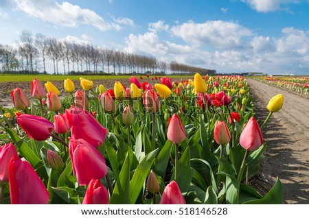 various colors of tulips blooming in a dutch landscape