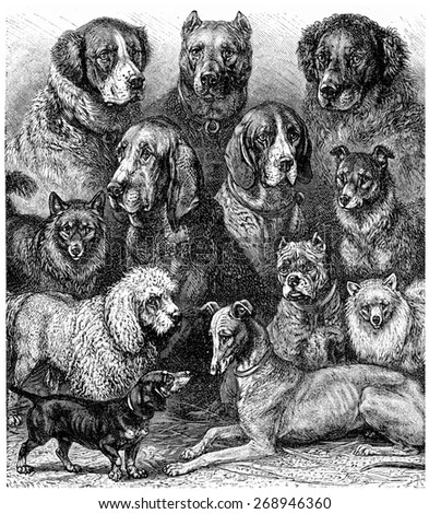 Various dogs, vintage engraved illustration. La Vie dans la nature, 1890. - stock photo