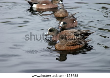 various ducks