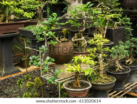 Various Kind Of Bonsai Tree Sell In Plant Store For Decorative Plants Photo Taken In Jakarta