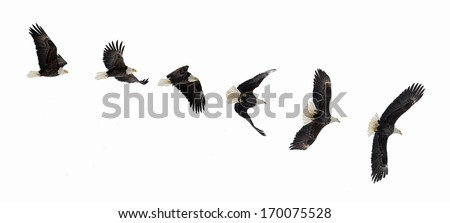 Various phases of a flying  bald eagle ( Haliaeetus leucocephalus ). Isolated white background - stock photo