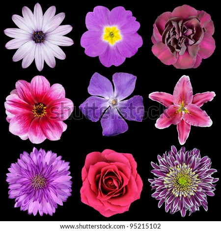 Various Pink, Purple, Red Flowers Isolated on Black Background. Selection of Nine Periwinkle, Rose, CornFlower, Lily, Daisy, Chrysanthemum, Dahlia, Carnation, Primrose Flowers