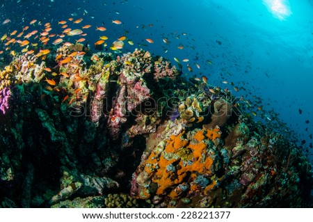 Various reef fishes swim above coral reefs in Gili, Lombok, Nusa Tenggara Barat, Indonesia underwater photo. There are various hard coral reefs, sponges and anthias