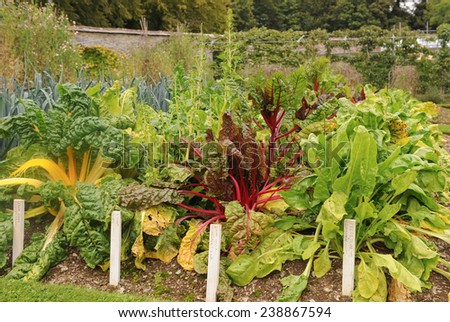 Various Varieties of Chard Growing in a Vegetable Garden near Barnstaple, in the County of Devon, England, UK - stock photo