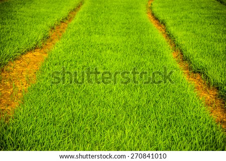 Vast fields of rice in Vietnam. Green background for agriculture and food. - stock photo