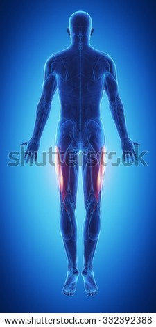 Vastus lateralis - blue muscular map - stock photo