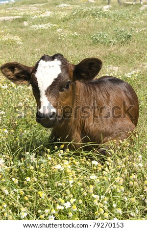 veal in the field - stock photo