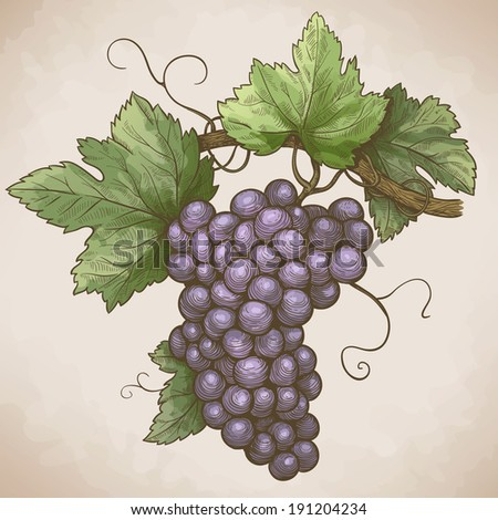 vector engraving illustration of grapes on the branch in retro style - stock photo