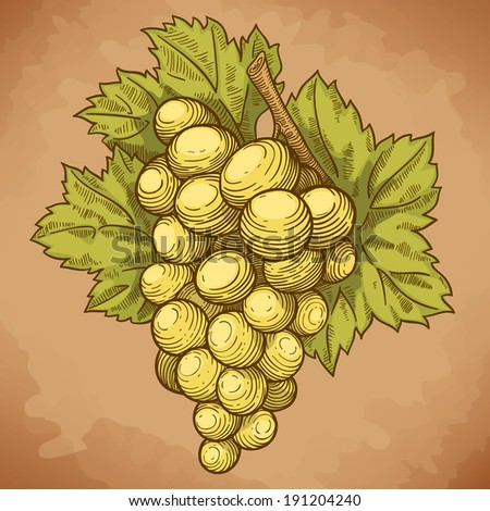 vector illustration of engraving grapes and leaf on the branch on white background - stock photo