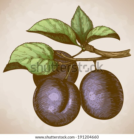 vector illustration of engraving plum on the branch in retro style - stock photo