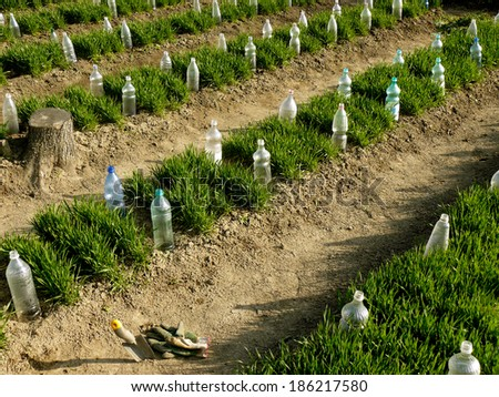 vegetable beds with plastic bottles as small hothouses among growing wheat as green manure - stock photo