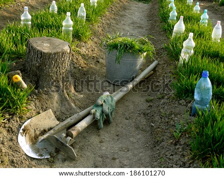 vegetable beds with plastic bottles as small hothouses among growing wheat as green manure and some garden tools - stock photo