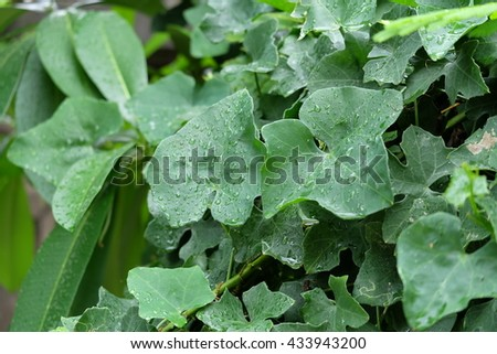 Vegetable, Bunch of Ivy Gourd Leaves