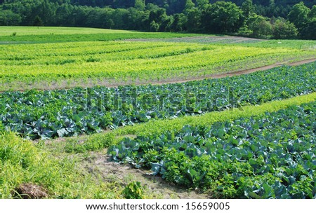 Vegetable crops in a field - stock photo