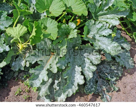 Vegetable disease mildew as thin whitish coating on pumpkin leaves in garden.