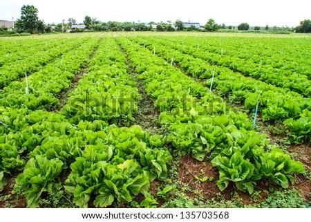 Vegetable field - stock photo