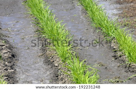 Vegetable field growing with drip irrigation system - stock photo