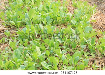 vegetable field in agricultural region , vegetable  in  organic farm - stock photo