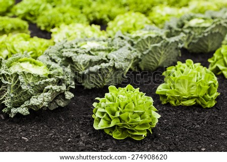 Vegetable field with lettuces and cabbages Healthy eating and nutrition - stock photo