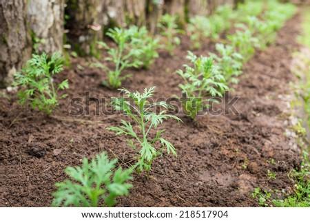 vegetable garden selective focus. - stock photo